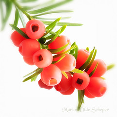 Jingle bells (Omasjon) Tags: light red macro tree green nature canon berries heart ngc nederland seeds npc yew poison conifer naturesfinest taxusbaccata bessen thegalaxy macroflowerlovers excellentsflowers natureselegantshots flickrflorescloseupmacros greatsshots taxusbessen