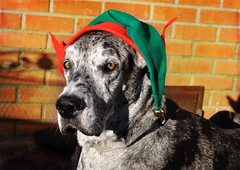 Christmas blessing (champbass2) Tags: california family greatdane blessing blessed ourfamily elfhat spoileddogs champbass2 christmasblessing merlegreatdane christmas2012 femalemerlegreatdane doginelfhat