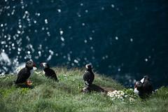 IMG_5827.jpg (helmutfaugel) Tags: schottland sumburgh grosbritannien orte juli vogel papageientaucher 2016 shetland aufnahmemonat europa