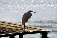 Lagoa da Conceicao (Billy W Martins ) Tags: bird lake lagoon lagoadaconceio winter inverno florianpolis floripa nikon d7100 paradise paraso paz peace pssaro