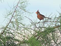 Northern Cardinal 20160722 (Kenneth Cole Schneider) Tags: florida miramar westbrowardwca