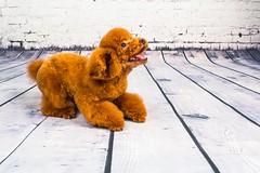 MATCHA LOW-22 (Michiez Chua Petography) Tags: poodle toypoodle singaporedog singapore redpoodle cute dog dogs canon 35mm studio studioshoot dogshoot