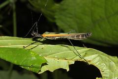 Phasmatodea sp. (Stick Insect) - Costa Rica (Nick Dean1) Tags: animalia arthropoda arthropod hexapoda hexapod insect insecta costarica guanacaste lakearenal stickinsect phasmatodea