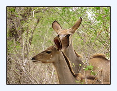 I am to shy...I don't want them to see me, Matilda! (Kudu - young female's) (Pixi2011) Tags: antelope nature krugernationalpark