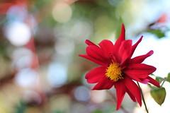 Still bursting with happiness... (MomOfJasAndTam) Tags: flora flower flowers red bokeh happiness plant greenery petal petals light summer