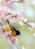 Baltimore Oriel (kb.wess) Tags: baltimore oriel crab apple tree blooming flower brockport new york spring