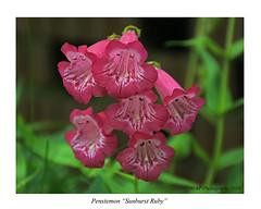 Penstemon (prendergasttony) Tags: penstemon red white nature outdoors nikon d7200 fleur petals pollen title sunburstruby garden focus