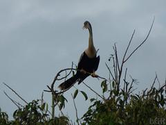 Anhinga anhinga  (Luis G. Restrepo) Tags: p2090671 ave bird colombia casanare patoaguja anhinga anhingaanhinga anhingidae southamerica