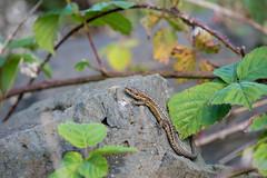 'Scaling' the Summit (Philip McErlean) Tags: black head whitehead northern ireland co antrim common viviparous lizard zootoca lacerta vivipara nikon d3200 eidechse lzard lagartija outdoor