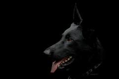 SHADOW (K.Verhulst) Tags: herdingdog herder herdershond dog hond huisdier pet shadow shepherd