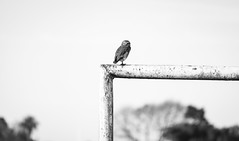 Outside the angle. (Pablin79) Tags: field sky landscape portrait winter bird nature light outdoor angle animal white monochrome details black wildlife one outdoors daylight afternoon goal argentina right misiones lechuza posadas no person vizcachera dof athenecunicularia burrowingowl