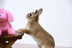 Ichigo san 303  (mensore) Tags: brown bunny cute ichigo netherlanddwarf pet rabbit
