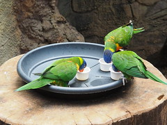 Threesome - or Dinner for Three (1elf12) Tags: vgel vogel birds papageien loris ftterung dinner colorful green grn allwetterzoo mnster germany deutschland