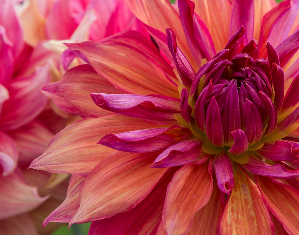 The worlds best photos of alaska and dahlia flickr hive mind u79a8494 paulaf55 tags alaska dahlia flower izmirmasajfo