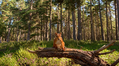 Red-Squirrel-in-widescreen-Lyle-McCalmont (Marwell Wildlife) Tags: marwell peoples choice 2016 photographer year wildlife vote
