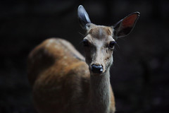 Residents of forest (mt.moco) Tags: sdq quattro foveon sigma 50100mmf18 deer japan nara light
