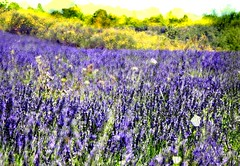 provence (szllva) Tags: collage multiplyexposure painterly flowers lavender purple nature provence summer