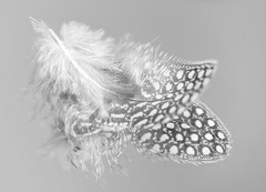 In The Mirror [Explored] (Daniela 59) Tags: macro macromondays inthemirror feather guineafowlfeather mirror monochrome monochromemonday blackandwhite danielaruppel