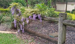 A Wisteria vine to watch over the coming years as it spreads along the fence. This was found along the same road as the Wisteria photo I posted earlier in the week. (~Zephyrus~) Tags: wisteria spring2016 rochedale