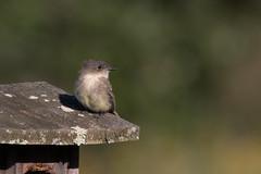 Eastern Wood-Pewee (NickJaramillo) Tags: 7dmkii birds newjersey greatswampnwr wildlife sigma150600sport canon nature