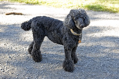 2742 (Jean Arf) Tags: ellison park dogpark rochester ny newyork september autumn fall 2016 poodle dog standardpoodle jane