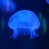 blue moon jelly (Sean Garrett (blacktau)) Tags: animalia aureliaaurita cnidaria jellyfish moonjellyfish scyphozoa animal animals commonjellyfish creature creatures moonjelly saucerjelly zoology