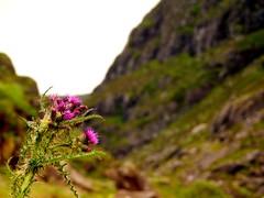 Thistle (David_Blair) Tags: republicofireland ireland killarney forest lakes mountains landscape gapofdunloe flowers flower thistle closeup macro