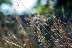 a little bit breezy outside (Janne Fairy) Tags: cocoon breezy windy wind nature wild wildpflanze flower straw outdoor kokon grass law grashalm