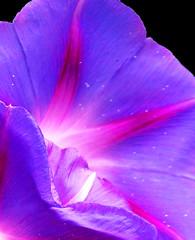 """Petals and Stardust"" (Puzzler4879) Tags: morningglories morningglory flowers flowermacros macroflowers macro flowercloseups blueandpurpleflowers nybg newyorkbotanicalgarden botanicalgardens publicgardens macrophotography a580 canona580 powershota580 canonpowershota580 canonpowershot powershot canonphotography canonasereis canon canonpointandshoot pointandshoot flowerphotography"