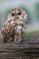 Tawny owl (Strix aluco) (hunt.keith27) Tags: owl tawny woods perch feathers eyes talons distinguishedpictures