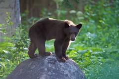 Bear Cub (SteveD.) Tags: laketahoebear blackbear bearcub laketahoe
