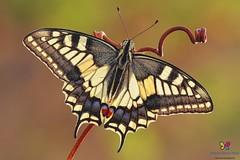 Papilio machaon (Linnaeus, 1758)...X-ray... (Simone www.simonespera.it) Tags: visipix