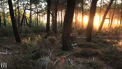 Atmosphres Landaise (NeoNature) Tags: canon nature france aquitaine biscarrosse foret forest wood bois pins pines arbres trees flora vegetation sunset coucher soleil sunray rayon ambiance atmosphere scenery summer ete