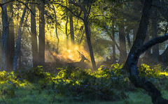 Headlong Rush (nicklucas2) Tags: animal deer sunrise tree wildlife grass green orange mist silhouette