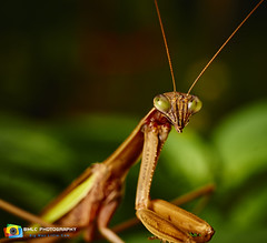 Mantis (Big Man, little cam) Tags: mantis preymantis insect e60mm28dnart sonya6000 sonyilce macrophotography macro macroworld sigmae60mm28dnart connecticut newengland nature naturephotography closeupphotography manchesterct