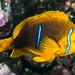 Orangefin Anemonefish - Amphiprion chrysopterus