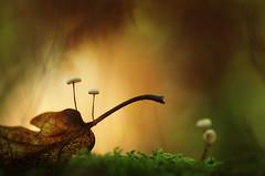 A l'abri (donlope1) Tags: macro nature light mushroom champignons autumn automne moss mousse forest fort bokeh proxi macrodreams