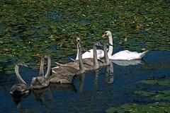 Swans at Long Park (Crunch53) Tags: swans swan bird birds nature scenery wildlife michigan