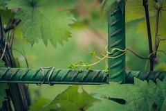 (gwilwering) Tags: bokeh closeup dof foliage green lattice leaf leaves metall nature outdoor plant vine         altay pavlovsk   sonya350 depthoffield