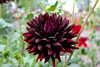 This Morning's Dahlia (jimgspokane) Tags: dahlias duncangarden manitopark flowers spokanewashingtonstate today´sbest otw