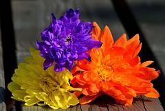 Bunch of colourful Chrysanthemums (padge83) Tags: nikon d5300 trio flowers chrysanthemum macro westyorkshire purple petals orange yellow bunch