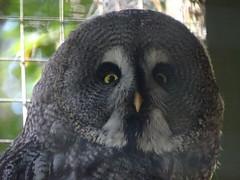 I'm watching you! あなたを見る! (Shutter Chimp: Im back!) Tags: owl bird 鳥 梟