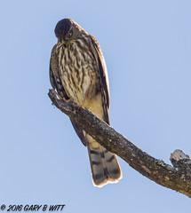 Cooper's Hawk (orencobirder) Tags: birds largebirds hawks flickrexport bestofyear facebook