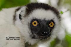 20120121_Madagascar_2324 (Giovanni Caddeo) Tags: wildlife animalplanet naturalmente defendersofwildlife earthhour nginationalgeographicbyit