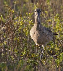 BI121119-389-Long-billed Curlew (lgooch) Tags: texas southpadreisland longbilledcurlew numeniusamericanus taxonomy:binomial=numeniusamericanus november2012 southpadreislandbirdingandnaturecenter