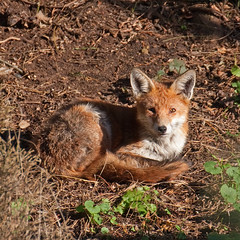 Bright eyed and bushy tailed... (Treflyn) Tags: uk winter wild sun animal garden reading back wildlife fox berkshire basking bask basks earley