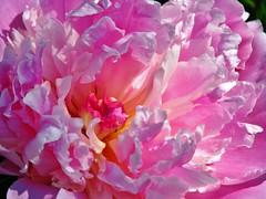 Bloem close-up - Flower close up (Johnny Cooman) Tags: flowers flower fleur flora belgium belgique belgi blume bel ghent gent aaa bloemen gand gante flanders belgien blgica vlaanderen oostvlaanderen flandern belgia flandre flandes eastflanders thegalaxy  flemishregion canons5 flhregion excellent