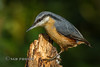 Nuthatch (Nigel Dell) Tags: winter birds flickr wildlife places hampshire nuthatch fsg ngdphotos