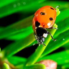 Christmas Lady-6 (Photography By Robert Young) Tags: christmas family nikon christmastree ladybird ladybug d800 sigma150mm