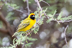 """Southern Masked Weaver in Namibia • <a style=""""font-size:0.8em;"""" href=""""https://www.flickr.com/photos/21540187@N07/8292855956/"""" target=""""_blank"""">View on Flickr</a>"""